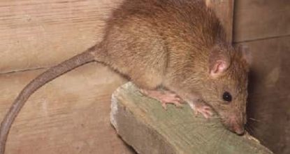 çatı faresi ilaçlama, çatı faresi nasıl ilaçlanır, çatı faresi ilaçlama işlemi