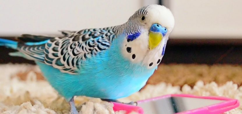 muhabbet kuşu, muhabbet kuşu konuşma eğitimi, muhabbet kuşu nasıl eğitilir